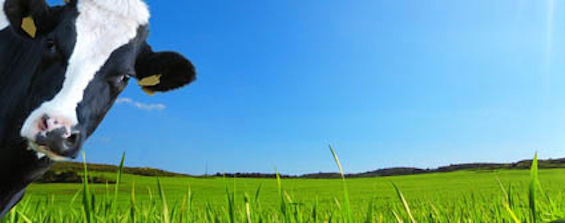 Cow in green field.