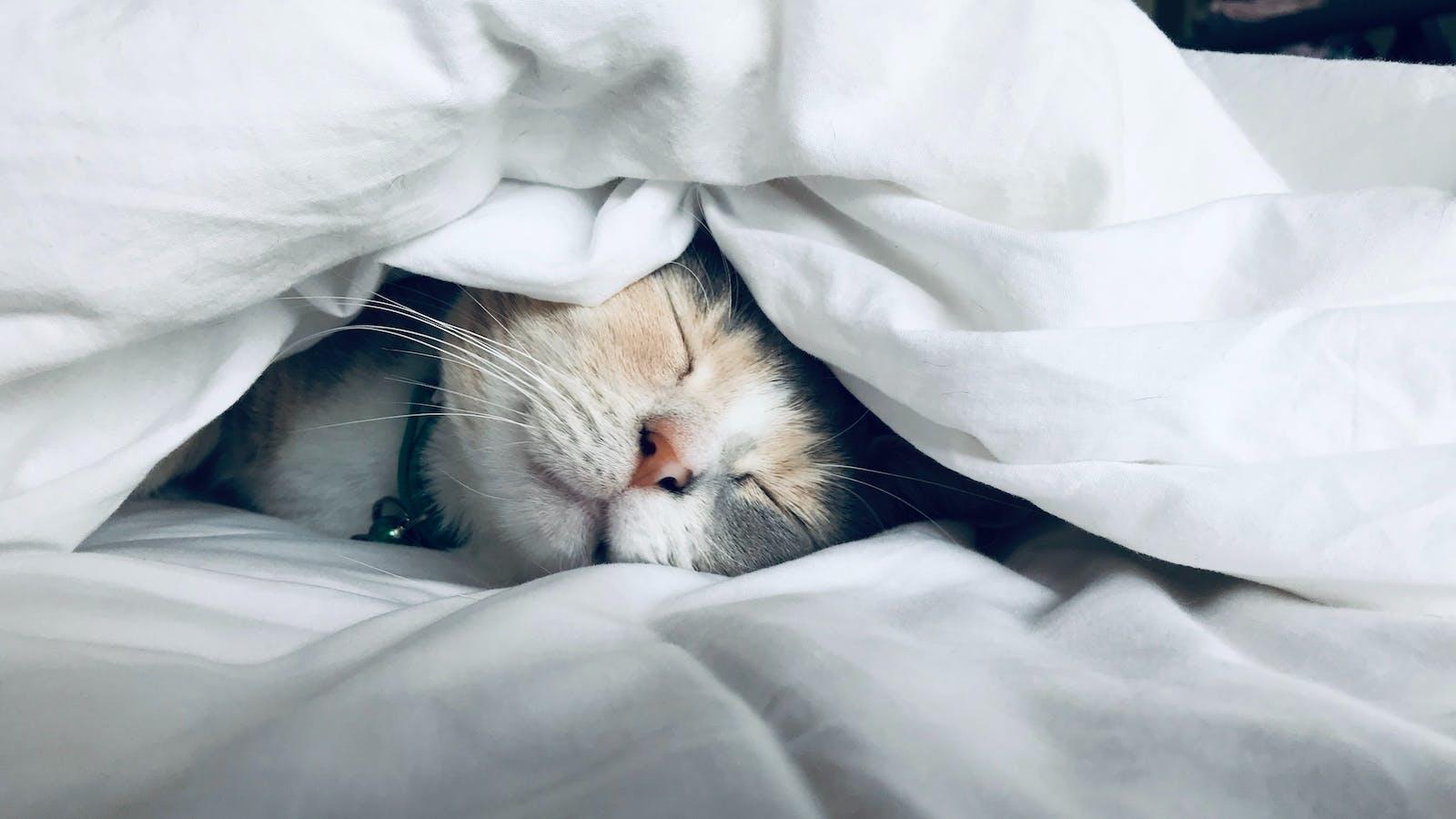 Chat emmitouflé sous une couette blanche