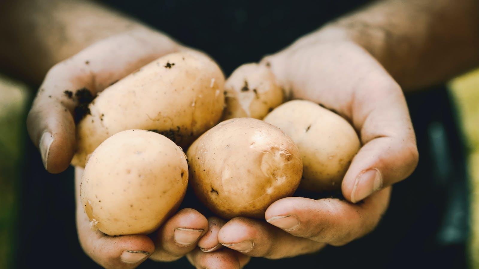 Personne présentant dans ses mains cinq pommes de terre