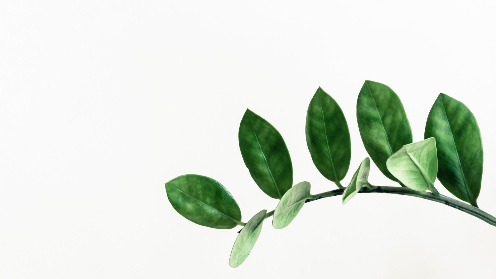 Branche d'une plante verte sur un fond blanc