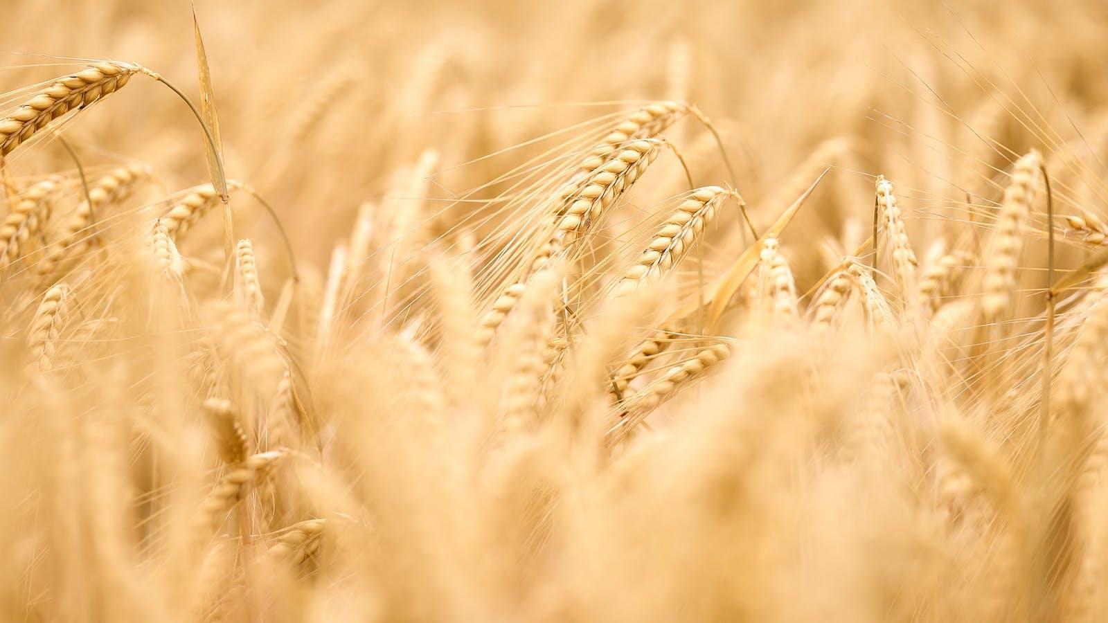 Champ de blé en couleurs