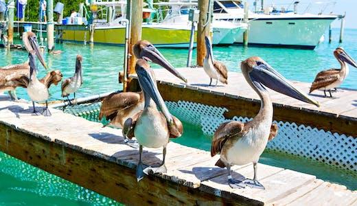 Pelikaner på en brygga i Key West.