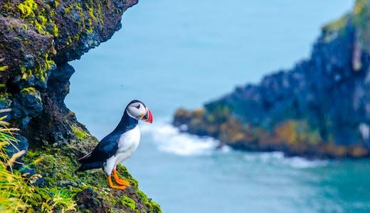 Närbild på en vacker Puffin på en av Islands många klippor.