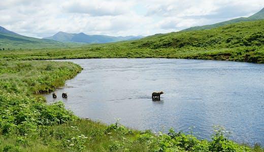 Björnmamma med två ungar i Kodiak, Alaska.