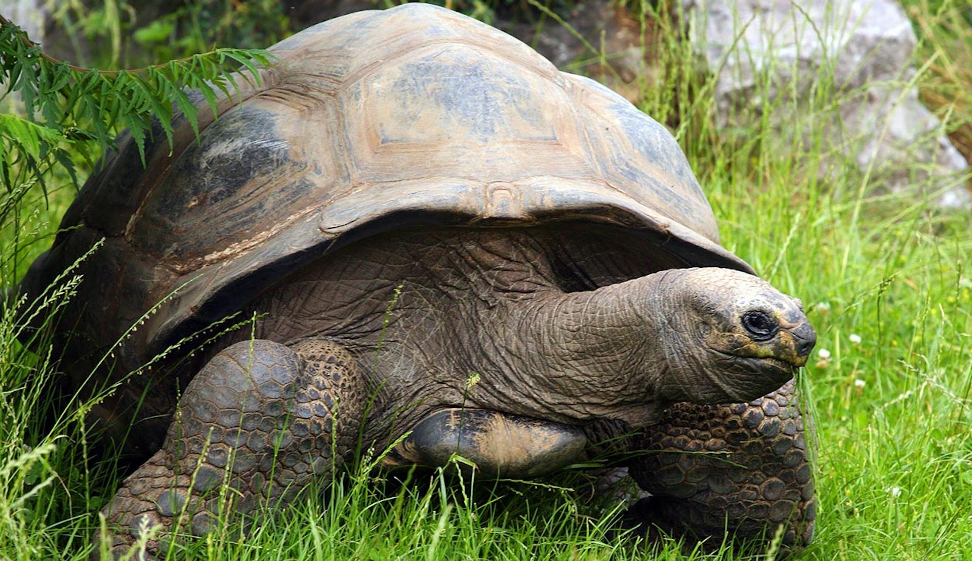 Gigantisk sköldpadda i det gröna gräset på Galapagos.
