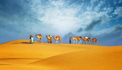 Karavan av kameler i öknen i Dubai.