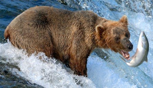 Björn som fångar fisk i Alaska.