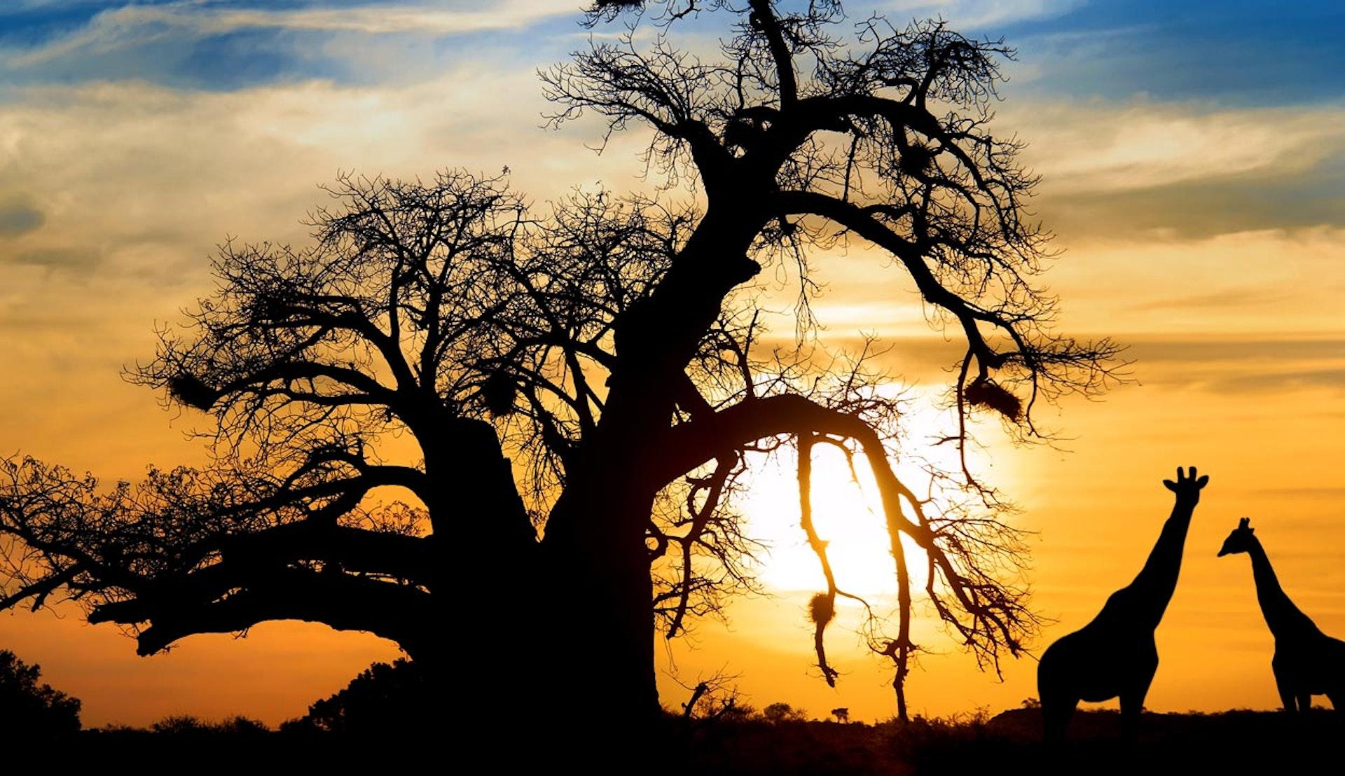 Två giraffer i solnedgången.