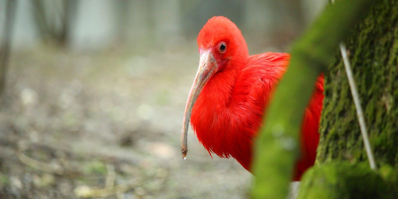 Närbild på nationalfågeln i Trinidad och Tobago - Scarlet Ibis.