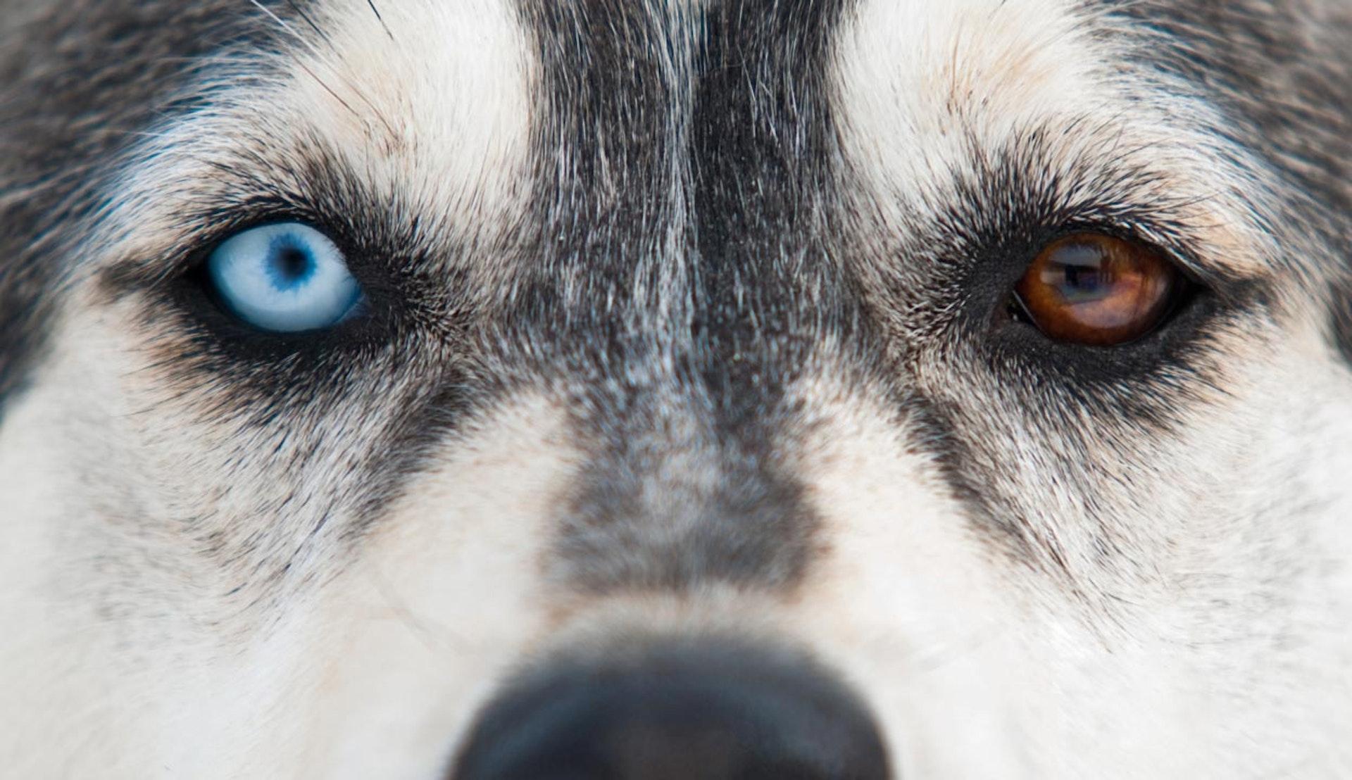 Riktig närbild av en husky, med ett blått och ett brunt öga.