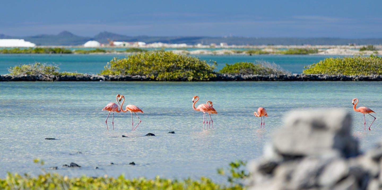 Rosa flamingos i vattenbrynet på Bonaire.