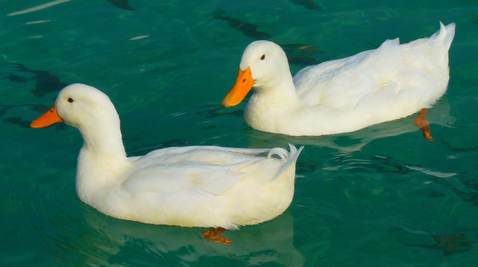 Two ducks in a pond.
