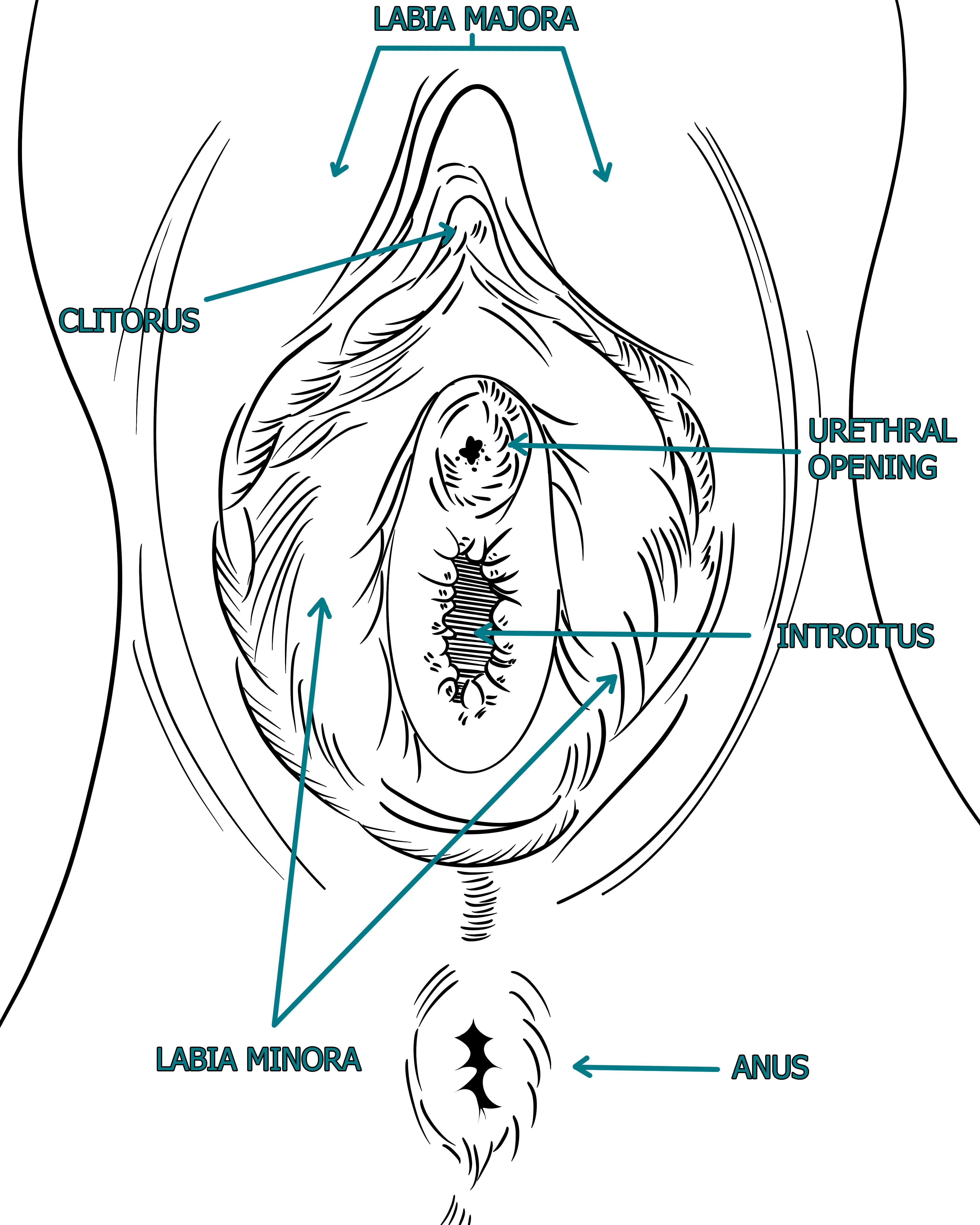 female anatomy chart
