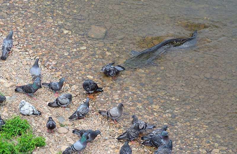 Certains ont déjà observé des silures attraper des pigeons, mais cela reste exceptionnel