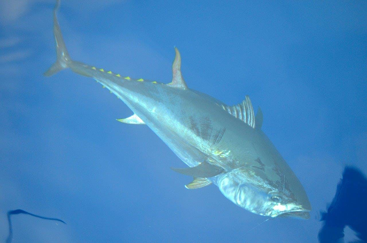 Attraper un thon rouge record