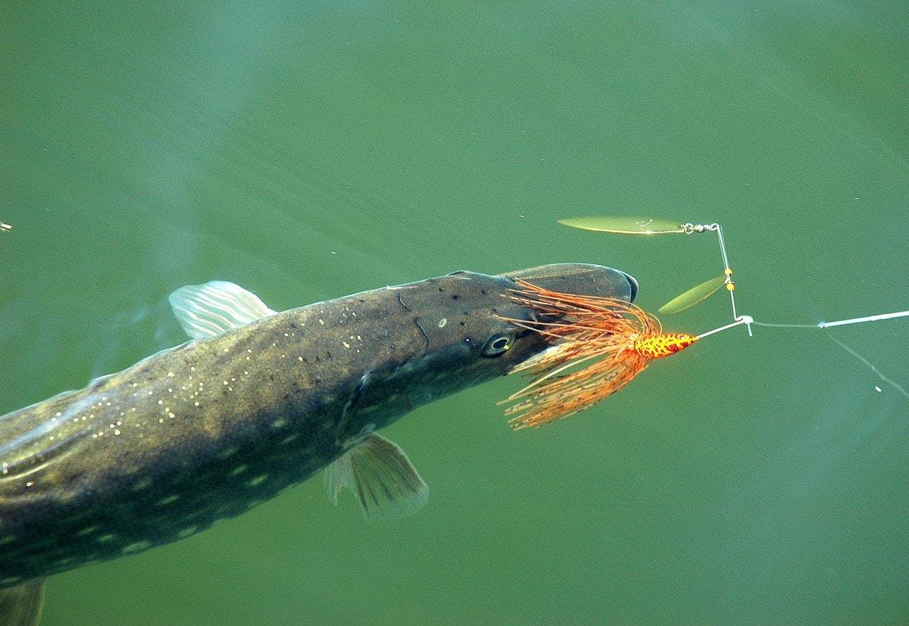 Whatever the lure, be patient and tenacious to succeed on pike fishing
