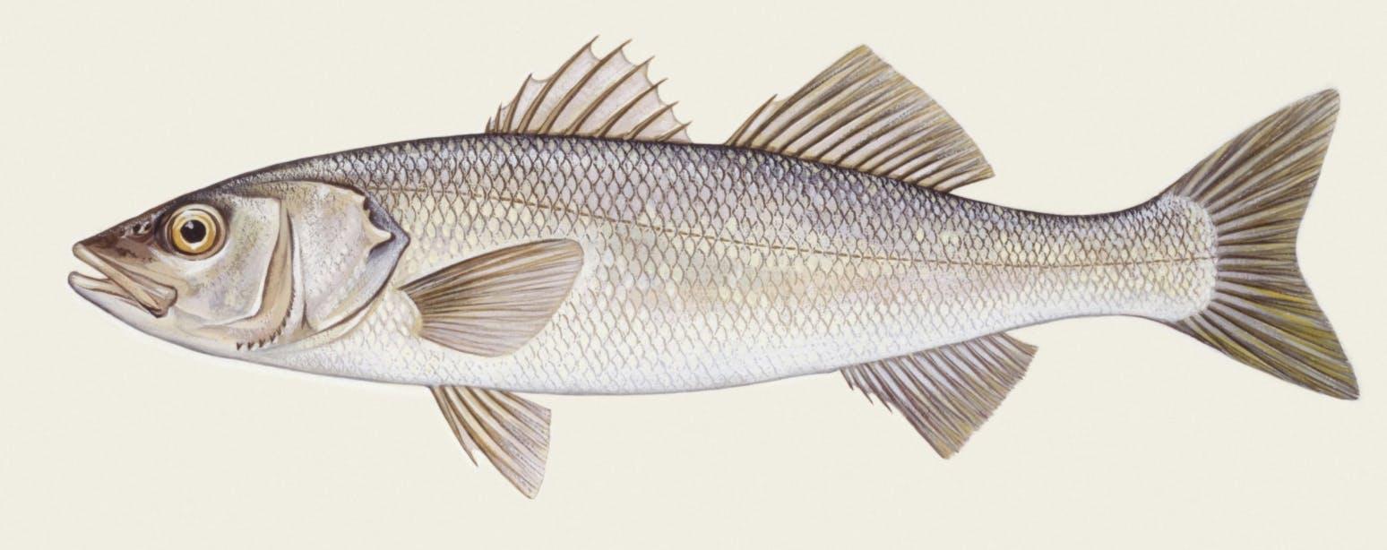 Reconnaître les principales espèces de poissons pêchées en mer