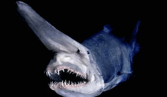 Globin Shark (Mitsukurina owstoni)