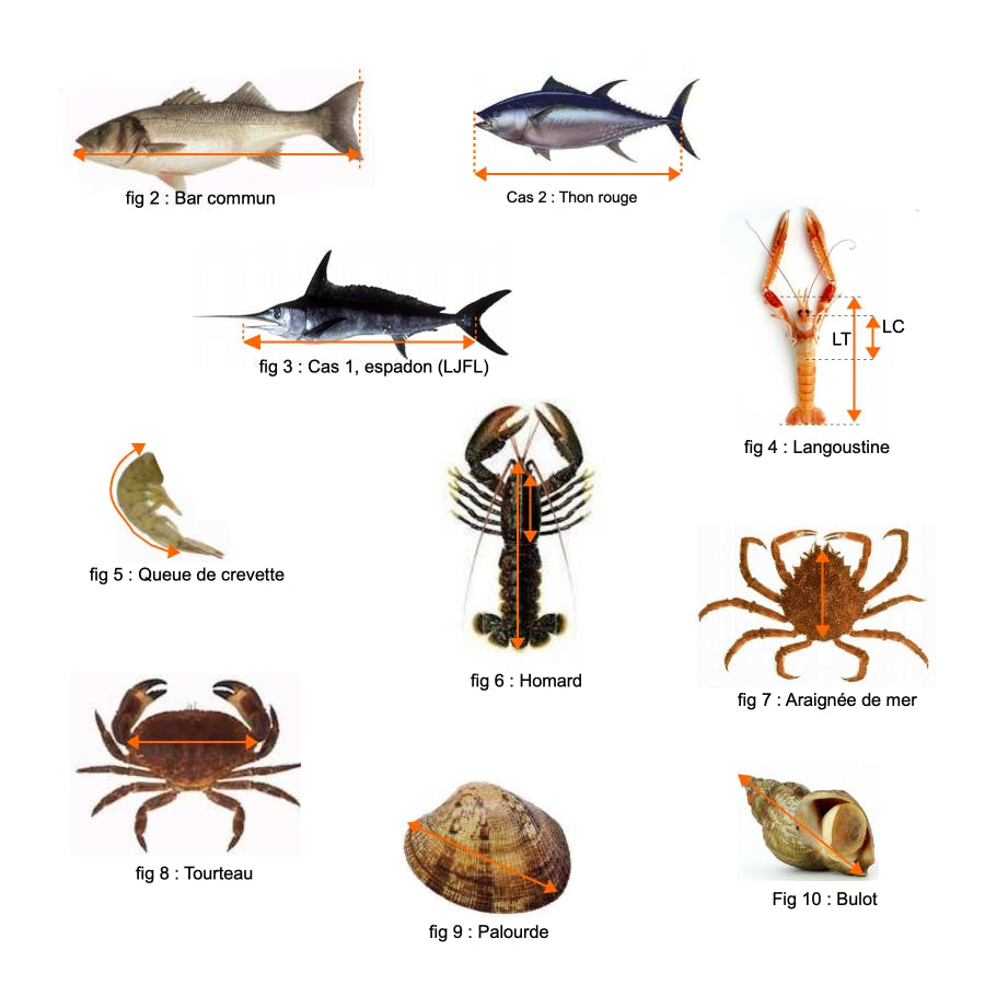 Règles de mesures des poissons de mer