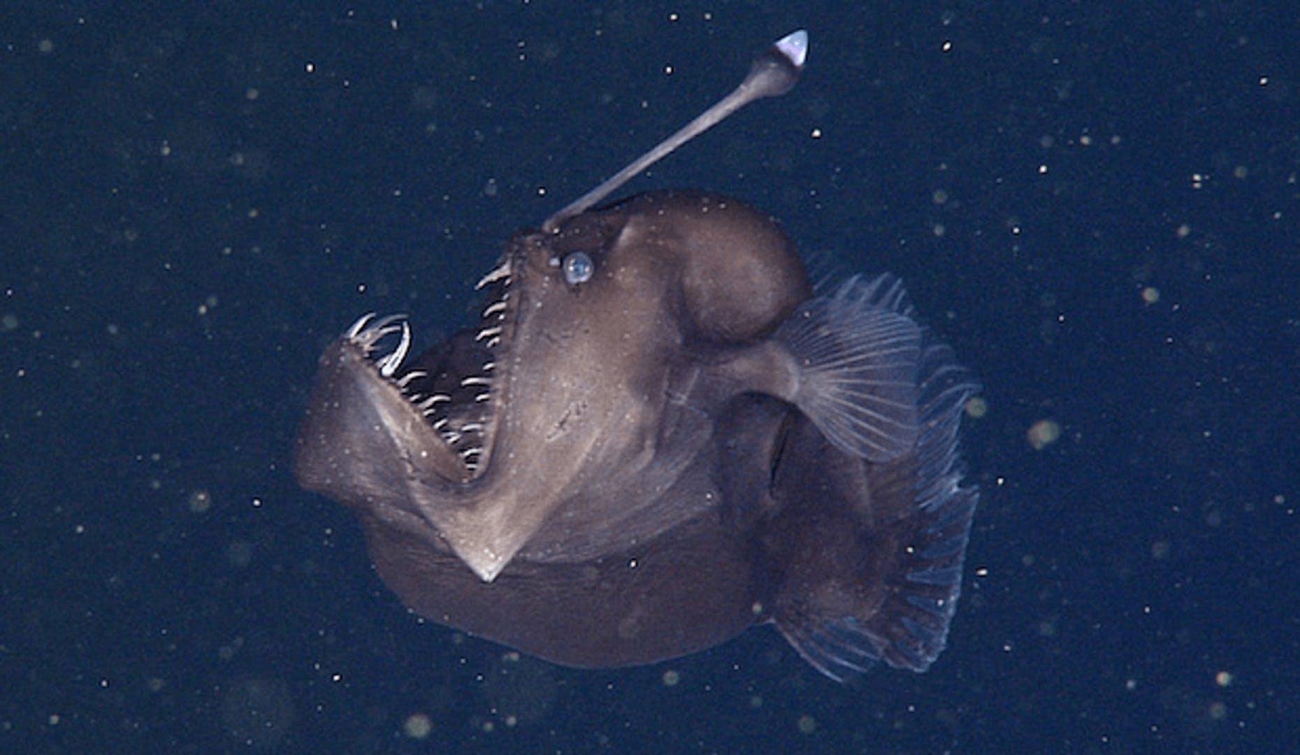 Humpback anglerfish (Melanocitidae)