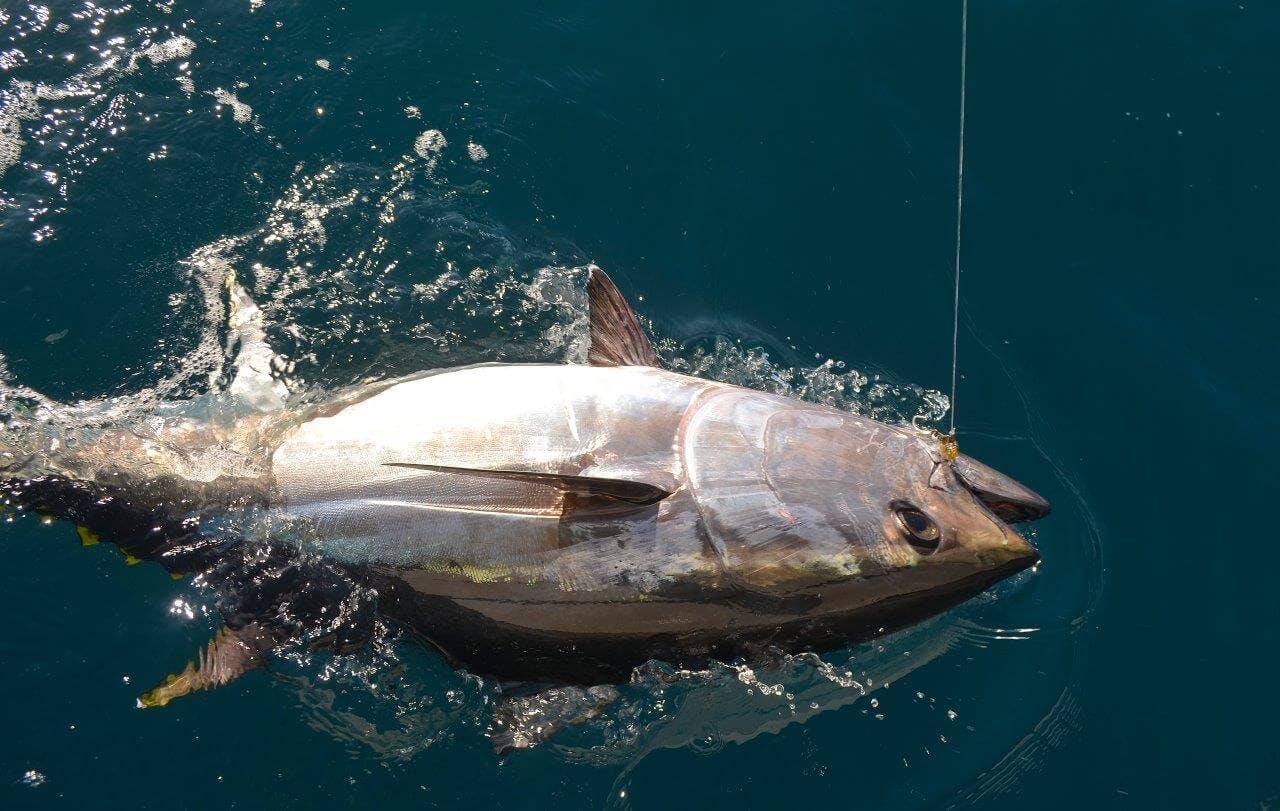 La pêche du thon rouge (Thunnus thynnus)