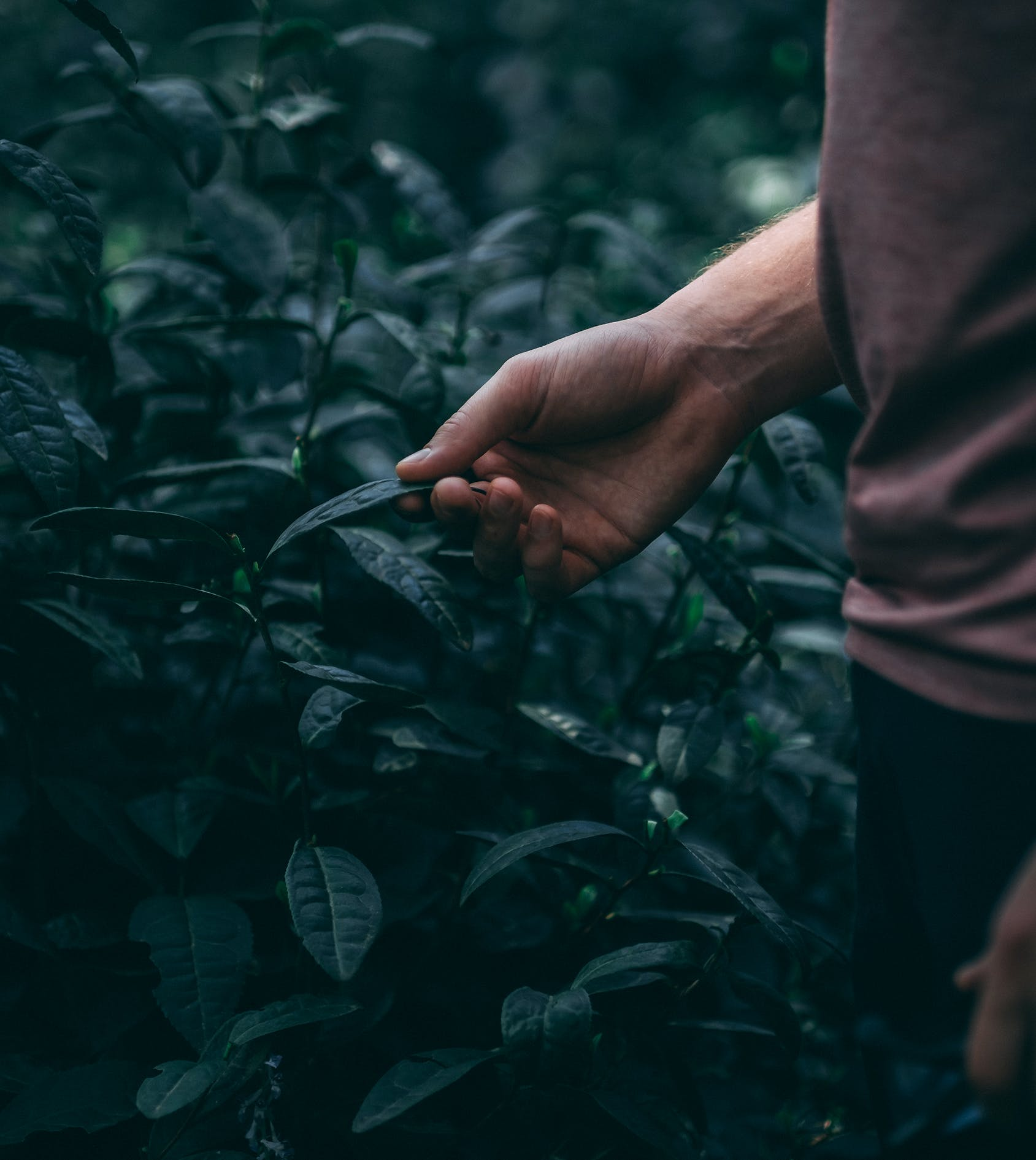 Tea leaf in hand