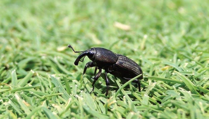 Insectele si gazonul