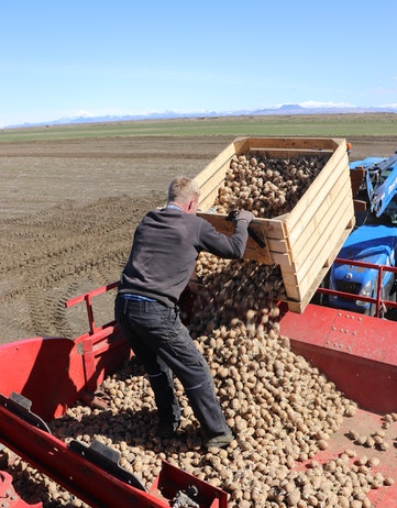 Man finding ugly potatoes