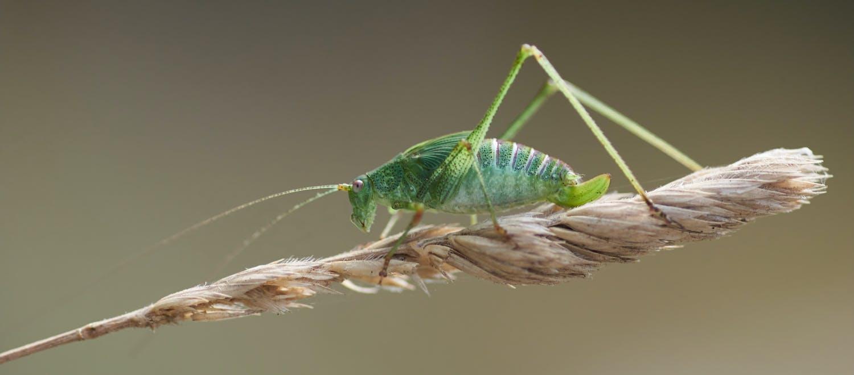 Green cricket on a twig