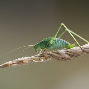 Green cricket on a twig