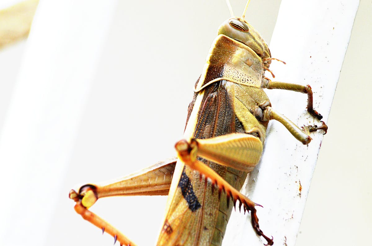 Brown grasshopper on a white surface