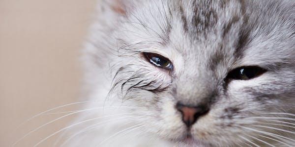 Katze - Auge entzündet