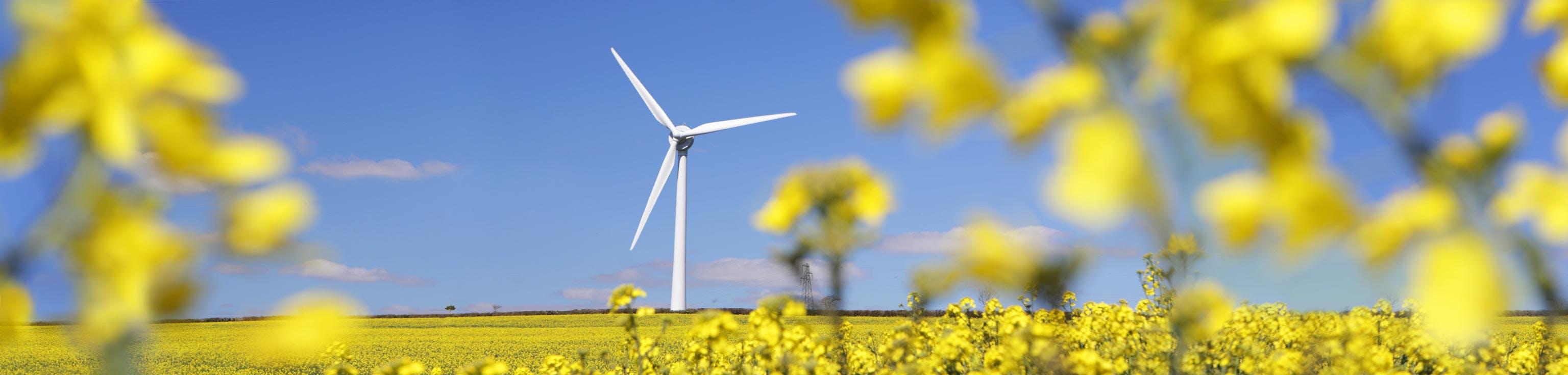 Windmill in a field of yellow flowers
