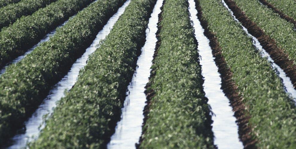 Field of a crop