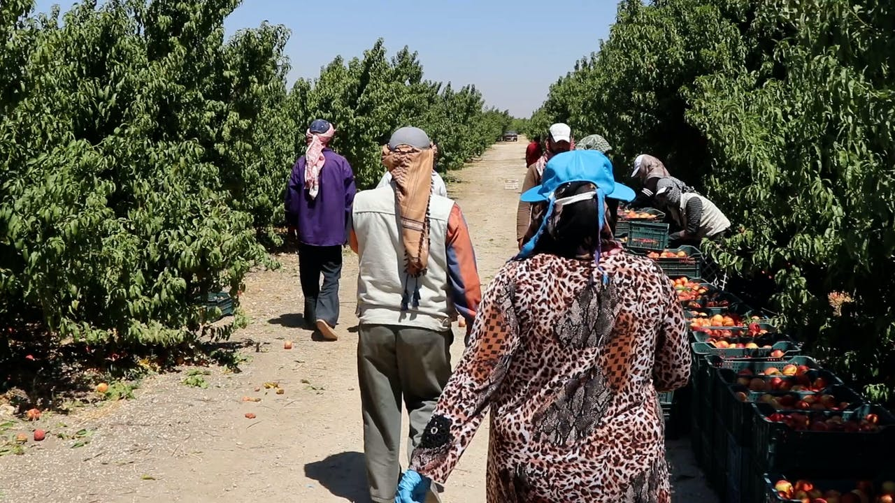 Syrian refugee Fatima and her husband walk toward other farm workers who pick peaches at a farm in Jordan.