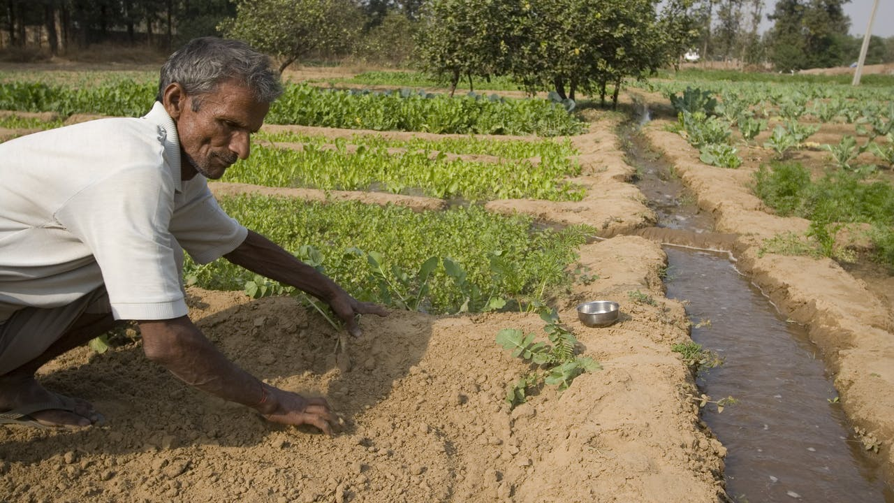 Agricultural work at Nodai Seeds farm in India
