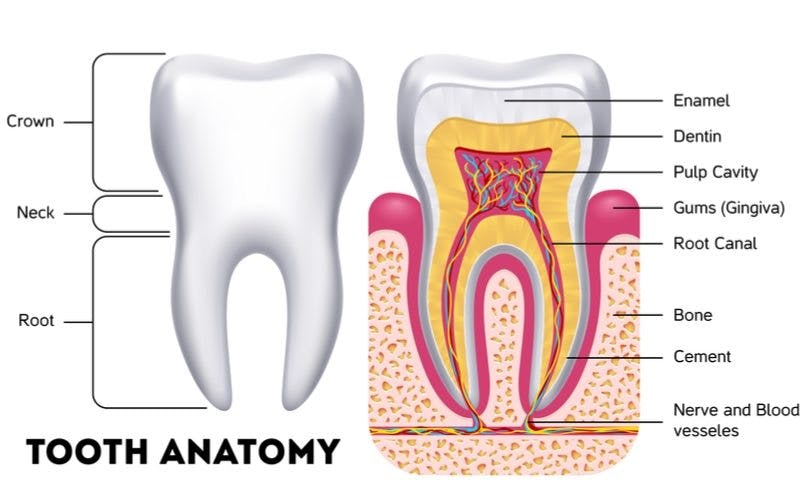 Tooth Anatomy Diagram