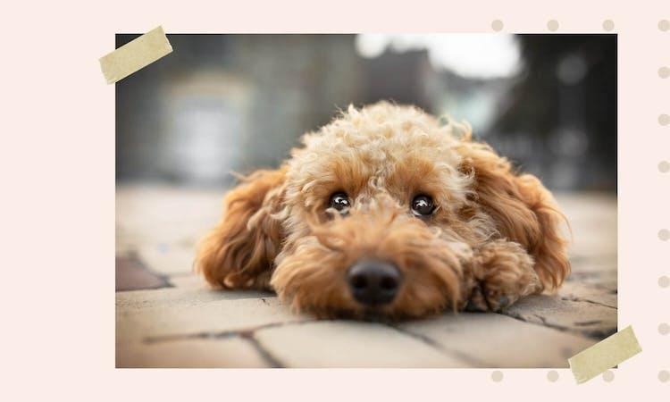 Goldendoodle der auf dem Boden liegt