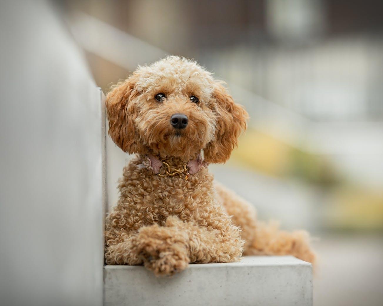 Goldendoodle Fotoshooting Goldhund