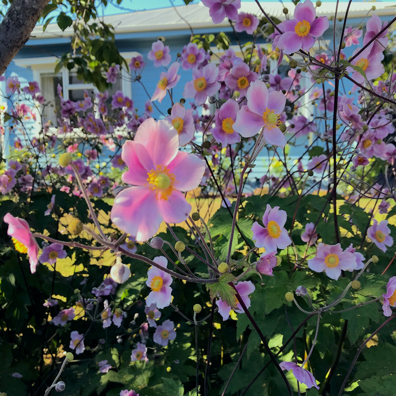 Lots of pink flowers with a blue house in the background