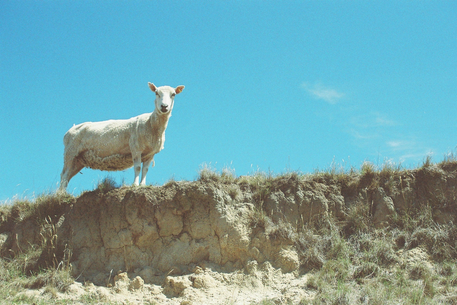 A sheep standing on a hill looking at the camera