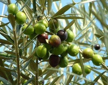 olive oil for afro hair