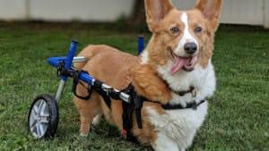 K9 SWiM - Intervertebral Disc Disease in Dogs (IVDD)
