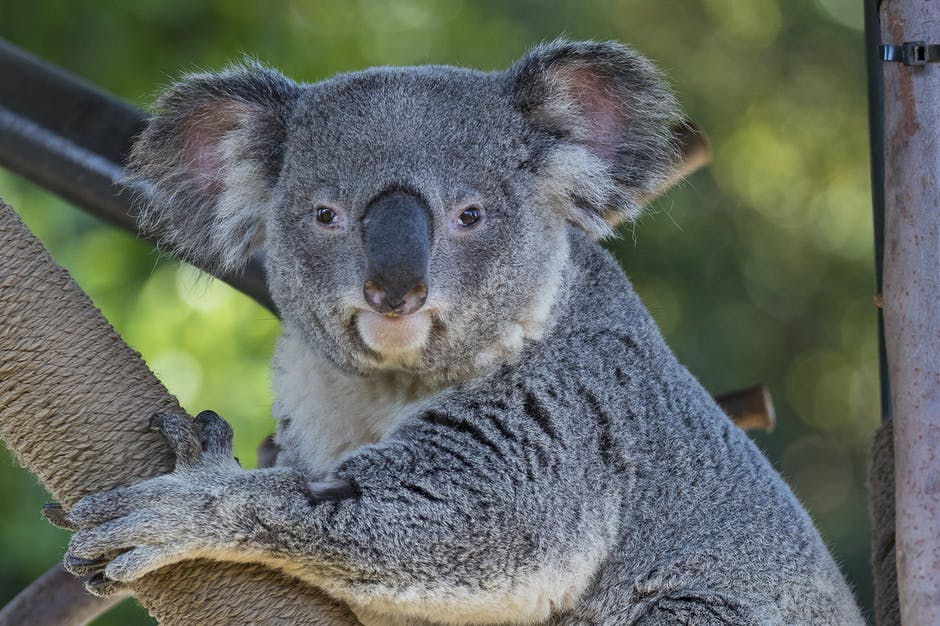 Koala hanging onto a tree branch