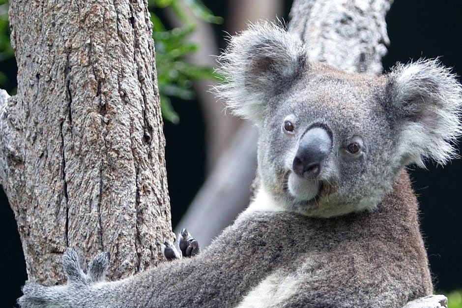 Koala hanging on the tree and looking at the camera