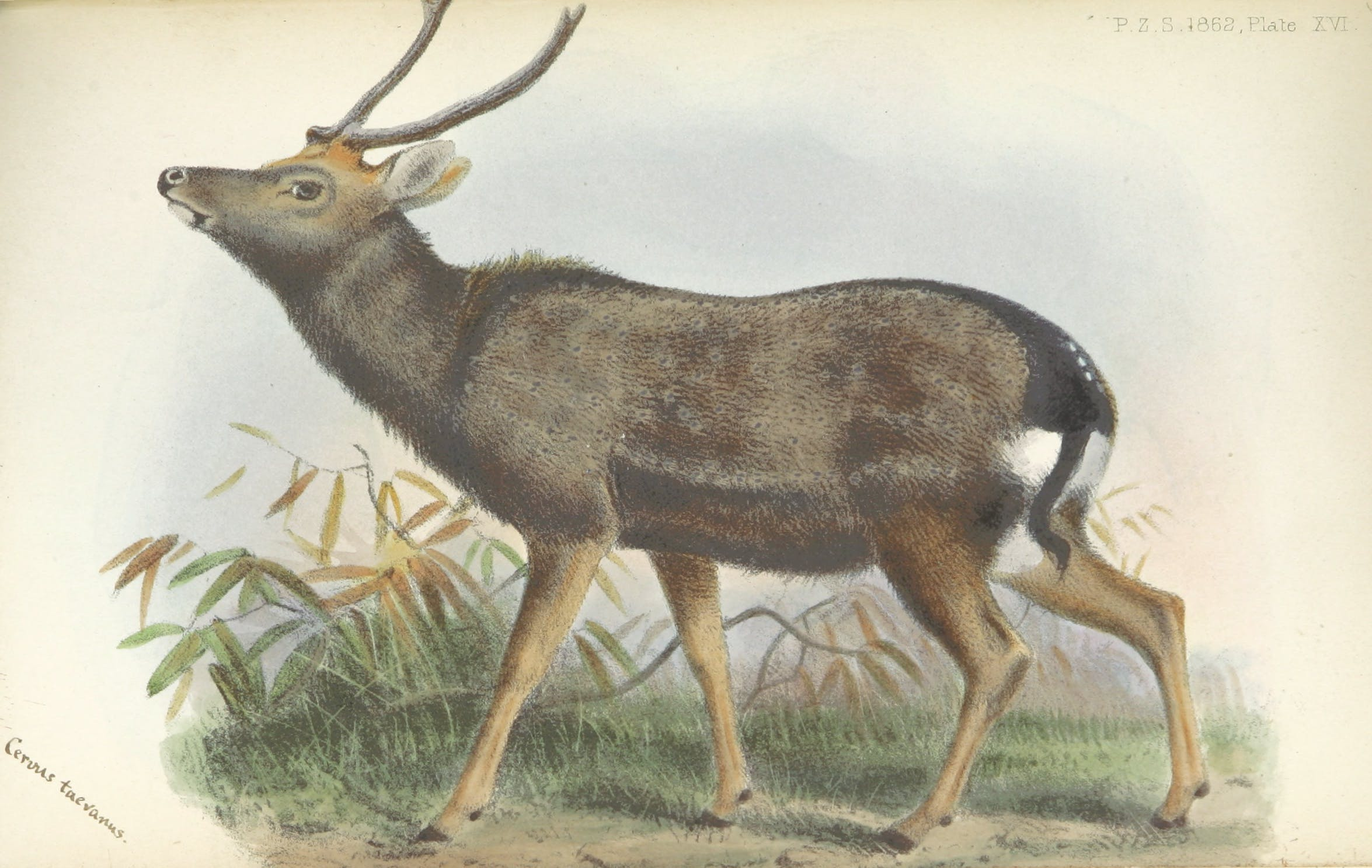 A color drawing of a deer