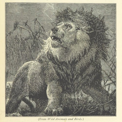 """A pencil drawing of a lion from """"Wild Animals and Birds"""""""