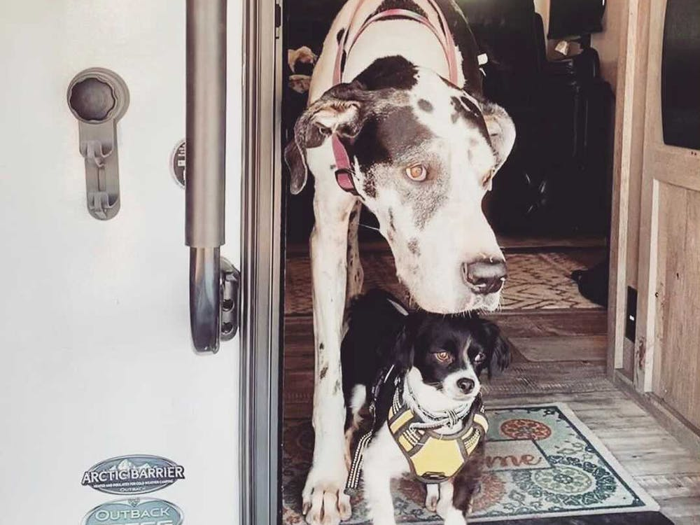 Great dane standing over smaller dog in RV door.