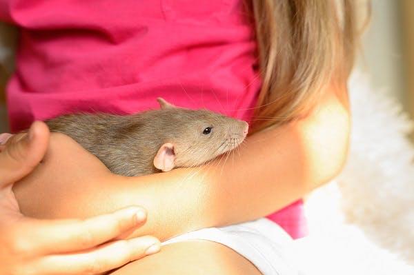 крыса для ребенка