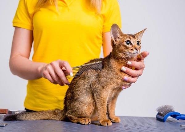 абиссинская кошка для ребенка